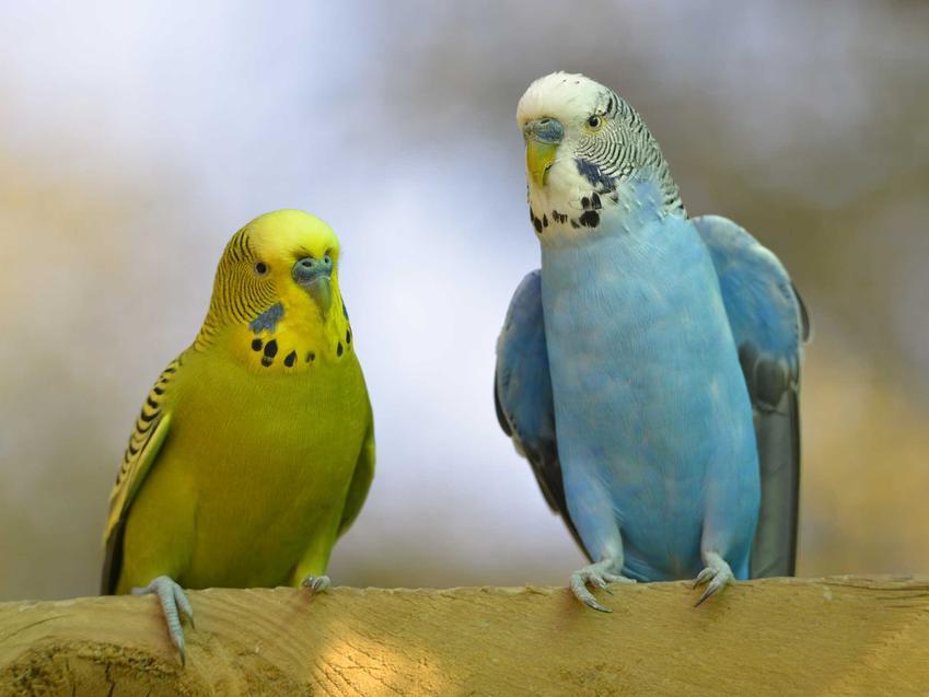 Kolorowe papugi faliste siedzące na konarze na tle nieba.