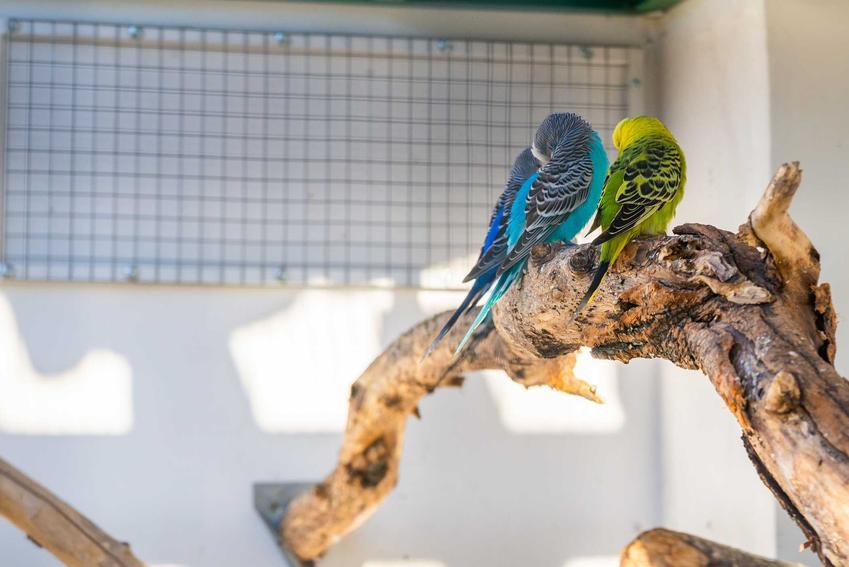 Długość życia papug falistych zależy od ich pielęgnacji i miejsca. Papugi faliste na konarze drzewa.