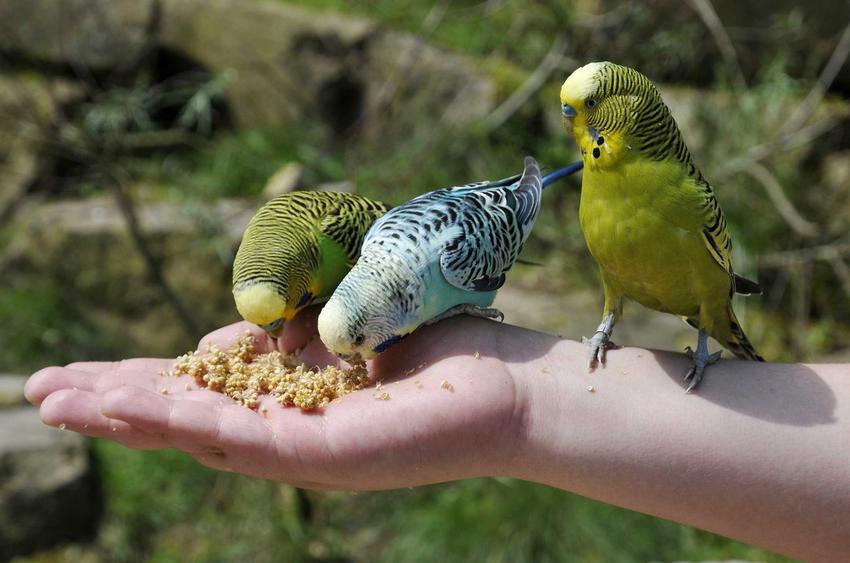 Papugi faliste jedzące jedzenie dla papug, drobne ziarno położone na dłoni.