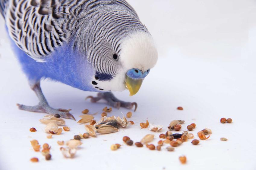 Papuga falista jedząca ziarno i słonecznik rozsypane na bialym podłożu