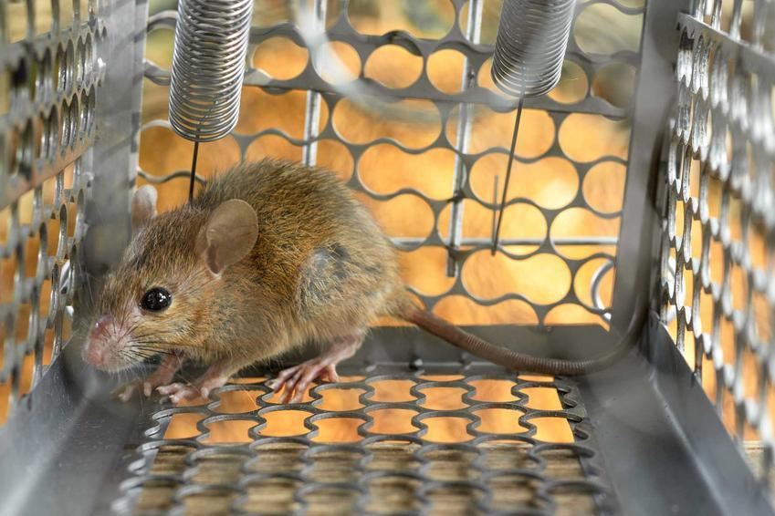 Szczur złapany w żywołapkę żywochwytną z automatycznym zamykaniem.