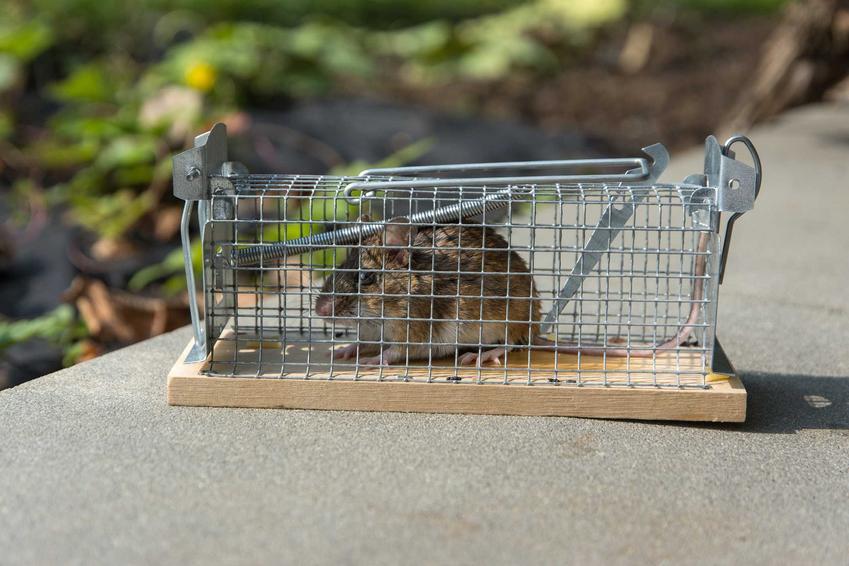 Żywołapka na szczury ze szczurem w środku - rodzaj żywołapki z automatycznym zamknięciem.