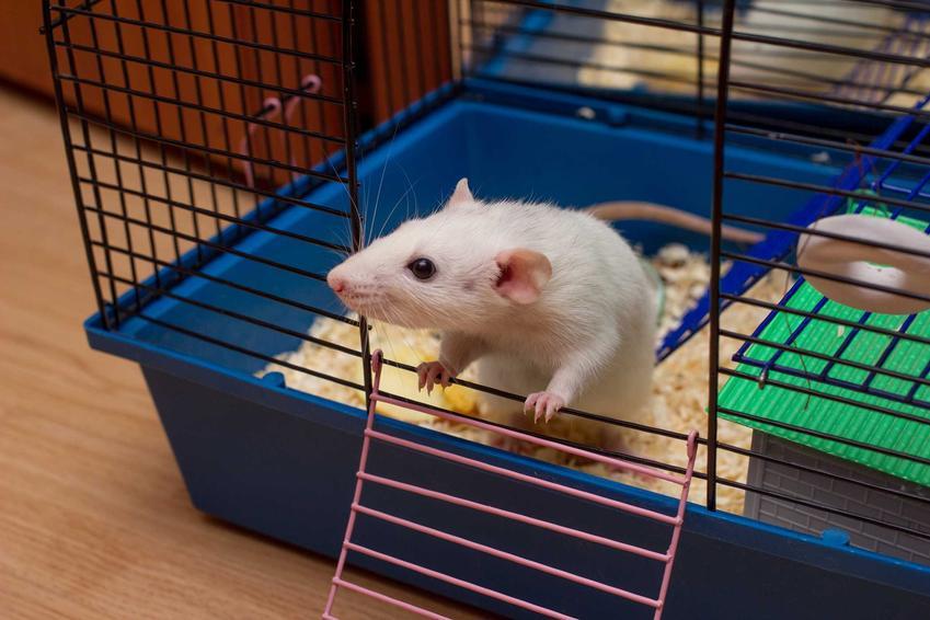 Szczur Dumbo Rex w klatce nie ma dużych wymagań. Potrzebuje trochę miejsca i uwagi.
