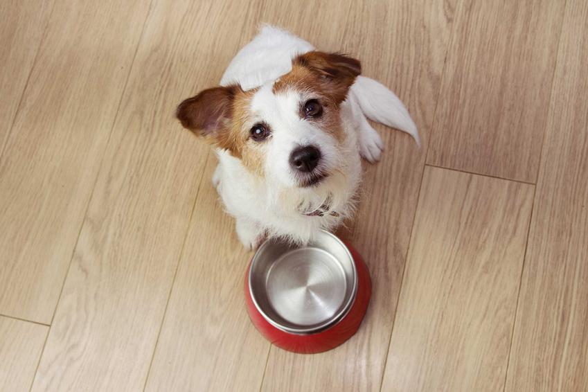 Pies z miską czekający na karmę suchą o dobrym składzie i wartościach odżywczych.