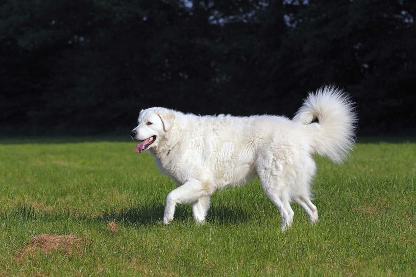 Pies rasy czuwacz słowacki na tle lasu ma długą sierść, której pielęgnacja zajmuje sporo czasu.