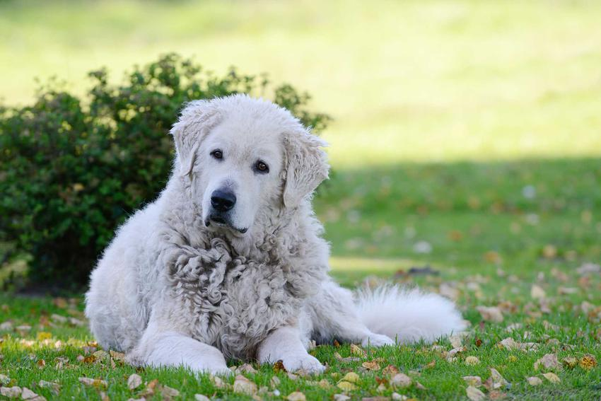 Pies czuwacz słowacki spokojnie leżący na trawie na tle zieleni ma spokojne i przyjazne usposobienie.