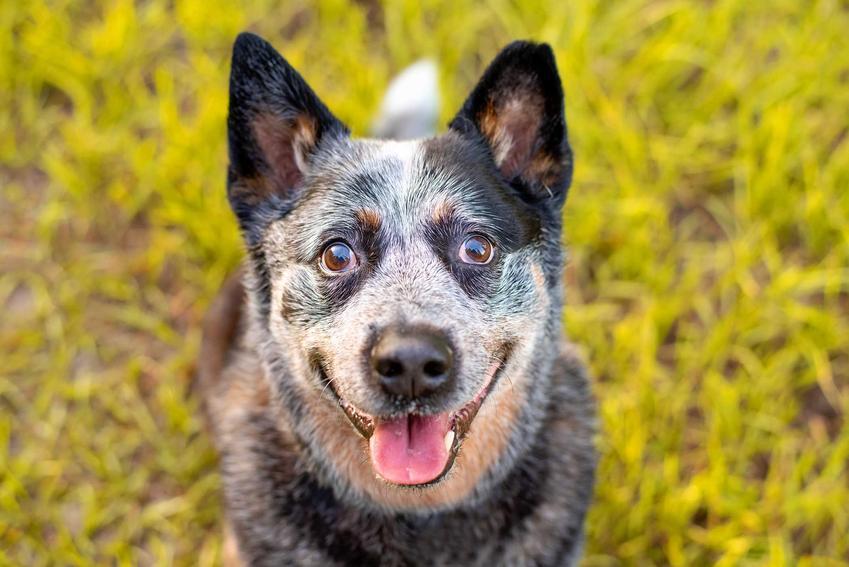 Pies rasy australijski pies pasterski ma przyjacielskie usposobienie i łagodny charakter
