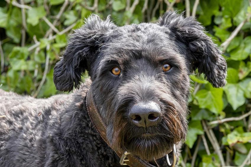 Wygląd psa owczarek flandryjski w przybliżeniu, którego sierść nie wymaga szczególnej pielęgnacji
