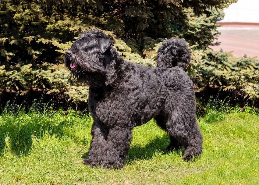 Pies rasy owczarek flandryjski na tle ziemi - wygląd owczarka flandryjskiego.
