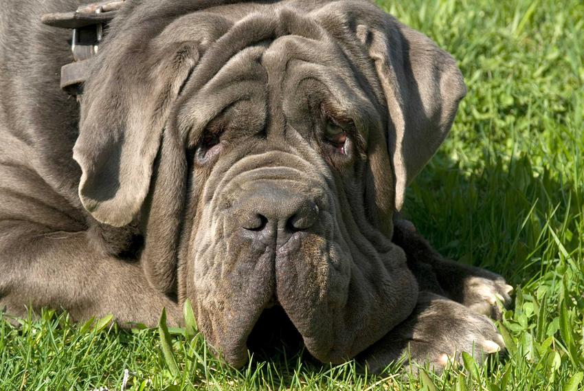 Pies mastif neapolitański leżący na podłodze o brązowej sierści i łagodnym usposobieniu.