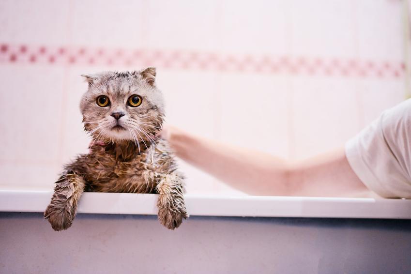 Kot wyglądający z wanny podczas kąpieli oraz polecany szampon dla kota