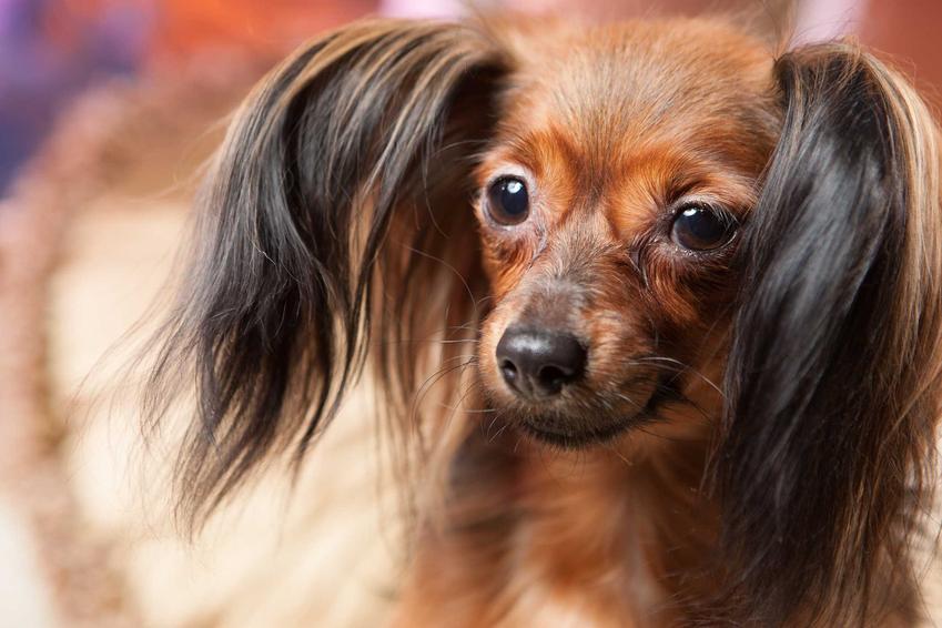 Pies rosyjski toy o brązowej sierści i długich włosach na uszach leżący na podłodze.