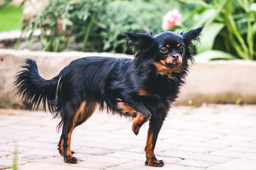 Pies rosyjski toy z czarną sierścią stojący na trawie o przyjacielskim usposobieniu.