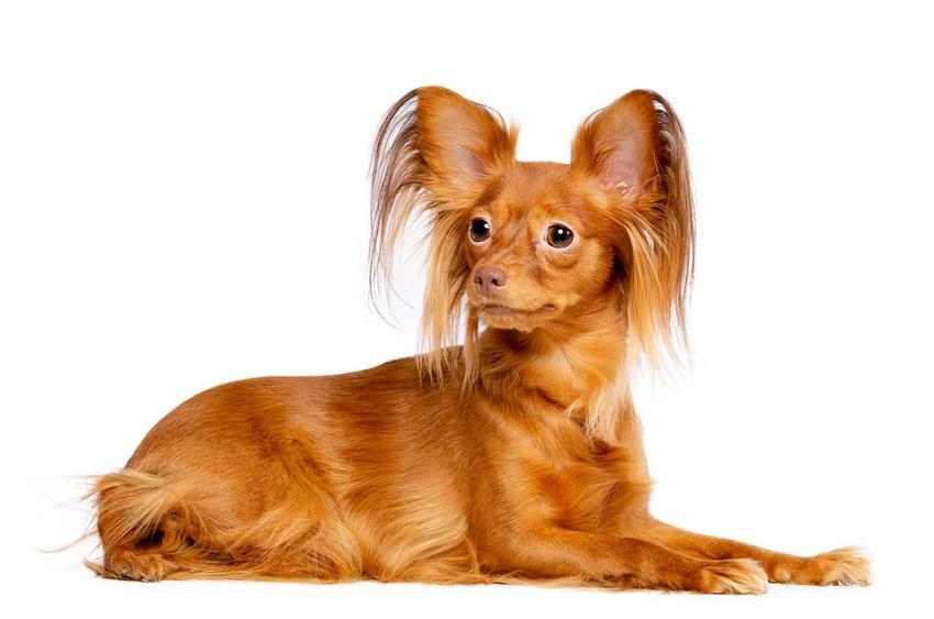Pies rasy toy rosyjski o brązowej sierści leżący na podłodze dorosły.
