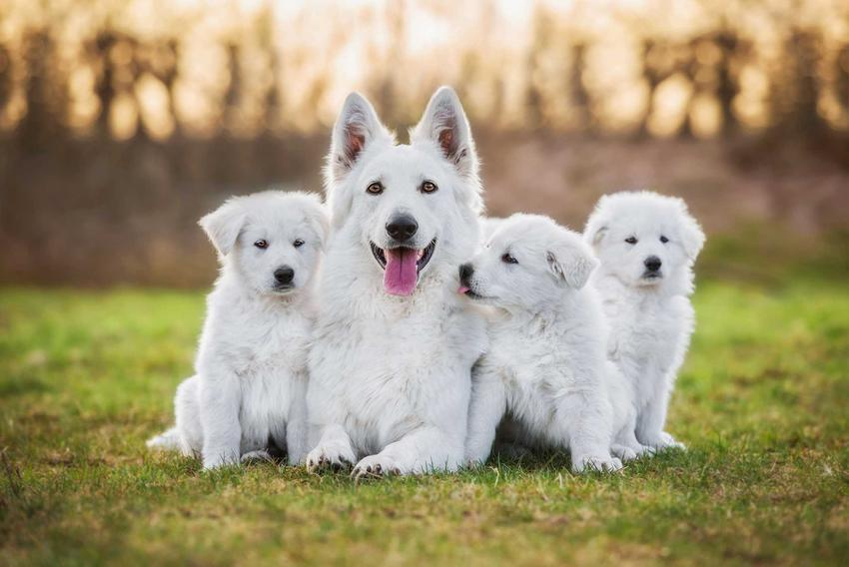 Białe psy różnych raz i wielkości siedzące na podłodze, psy o białej sierści.