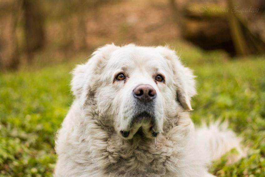 Biały pies - owczarek podhalański o długiej białej sierści leżacy na trawie.