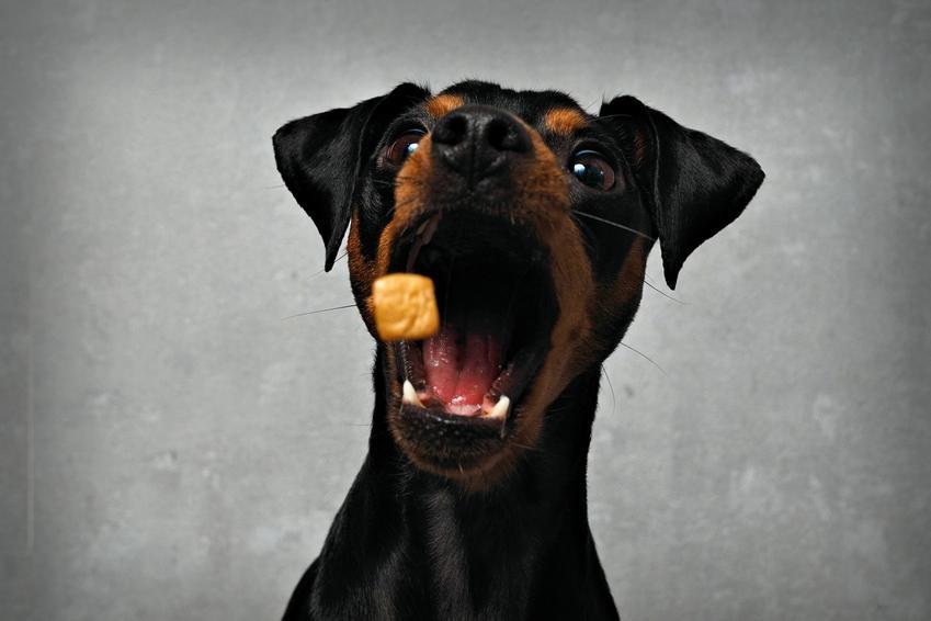 Pies jedzący karmę, a także karma ZiwiPeak, informacje, cena, rodzaje i właściwości