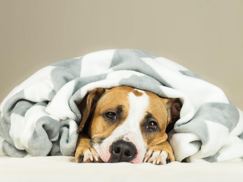 Chory pies leżący pod kocem, a także objawy parwowirozy, leczenie i porady