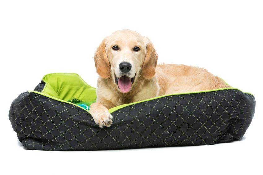 Pies rasy golden retriver na legowisku oraz najlepsze legowisko dla labradora i jego wymiary