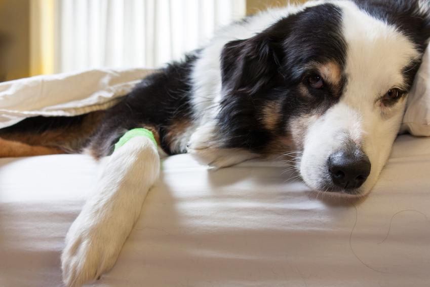 Chory pies na kanapie, a także parwowiroza u psa, objawy parwowirozy, leczenie i porady