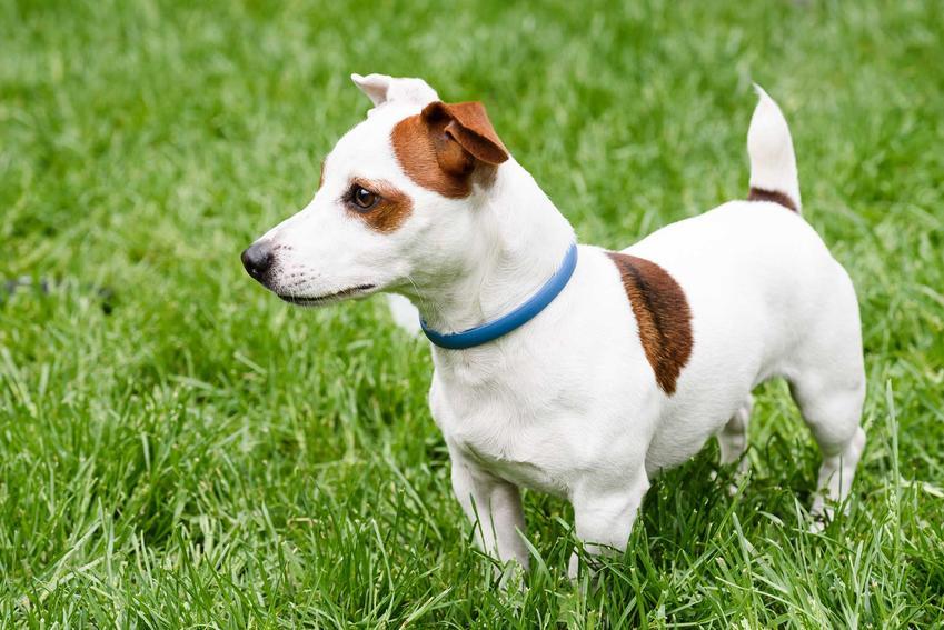 Obroża Foresto w szarym kolorze na szyi psa a także dzialanie i zastosowanie.