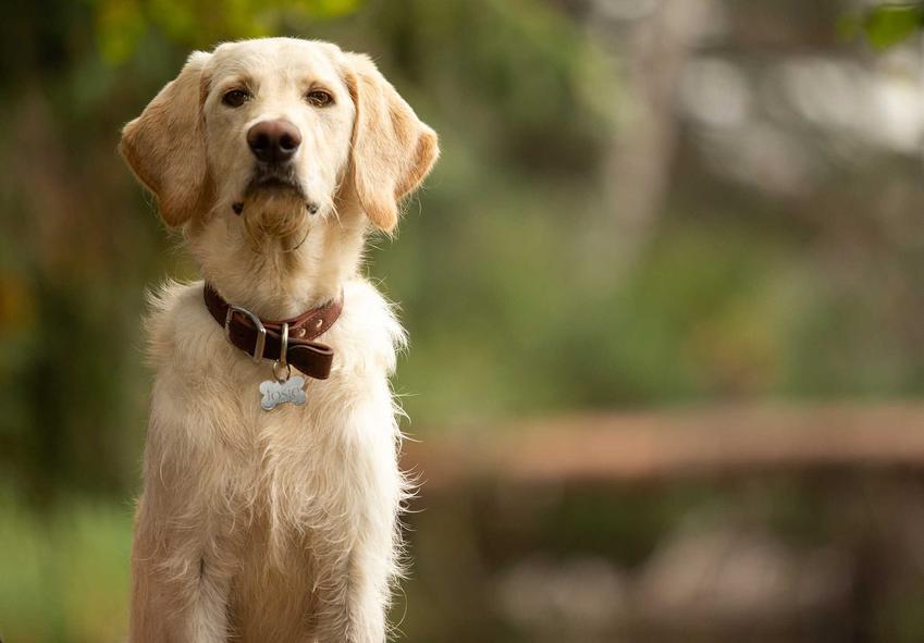 Tradycyjna obroża dla psa ze skóry na dużym psie oraz rodzaje obroży dla psa.