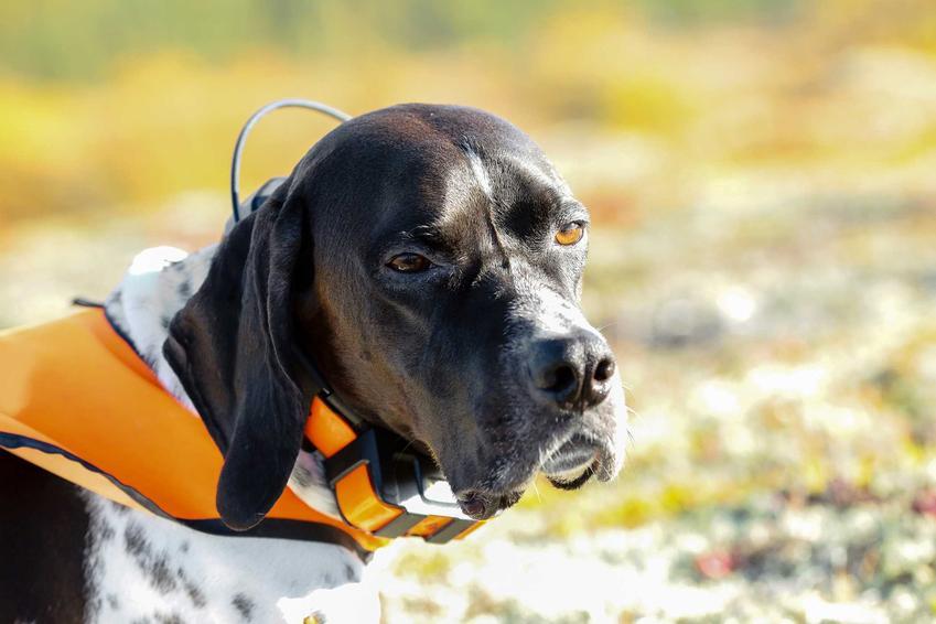 Pies ubrany w obrożę z GPSem a także zastosowanie i sposób działania GPSów dla psów.