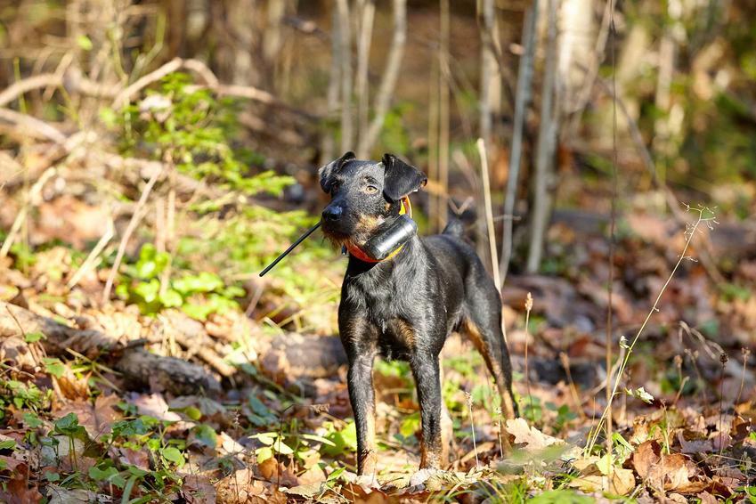Obroża gps dla psów pozwala na ich szybkie odnalezienie. Pies z gpsem dla psów w lesie