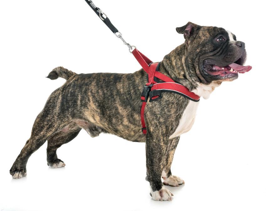 Pies w szelkach norweskich na białym tle, czyli norweskie szelki dla psa i ich opis