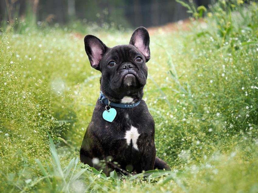 Skórzana obroża dla psa z imieniem na grawerowanej zawieszce i czarny mały pies.