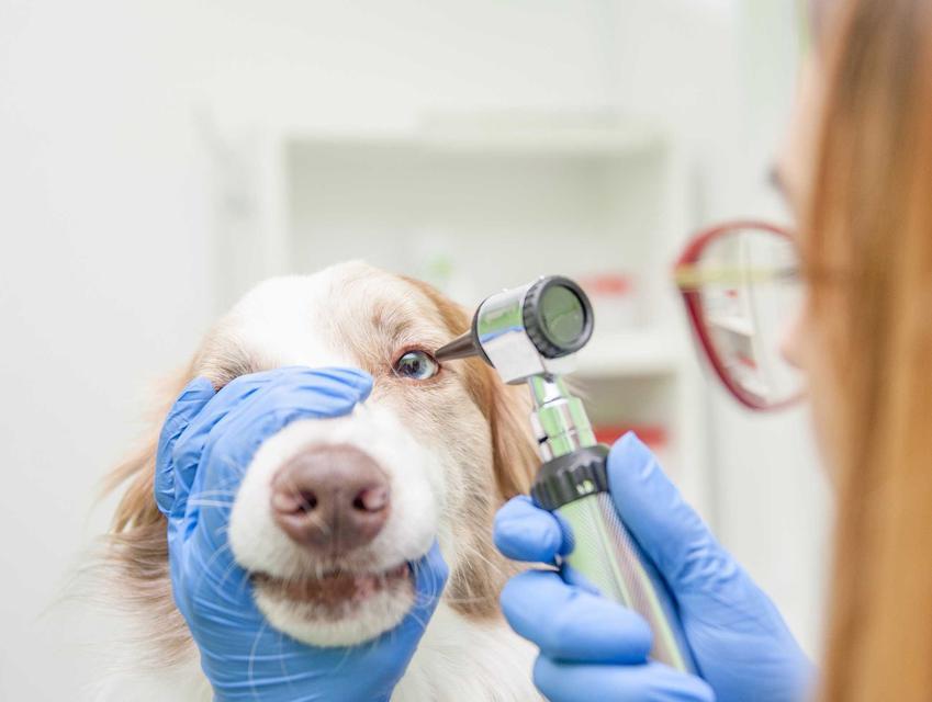 Badanie zapalenia spojówek u psa przez weterynarza, a także przyczyny zapalenia oczu