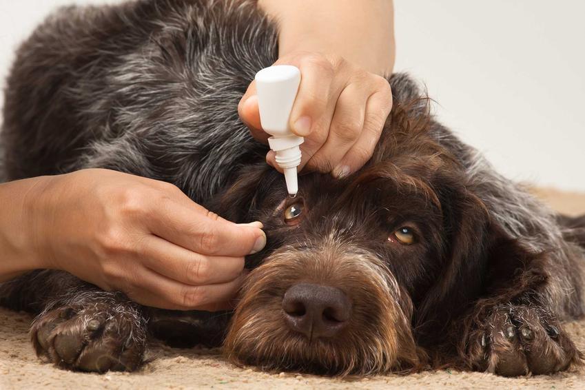Leczenie zapalenia spojówek u psa poprzez krople do oczu, a także przyczyny oraz objawy choroby