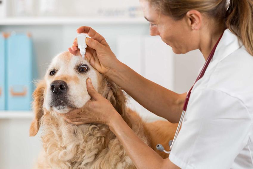 Wypadanie trzeciej powieki, czyli wiśniowe oko diagnozowane przez weterynarza, a także leczenie oraz przyczyny