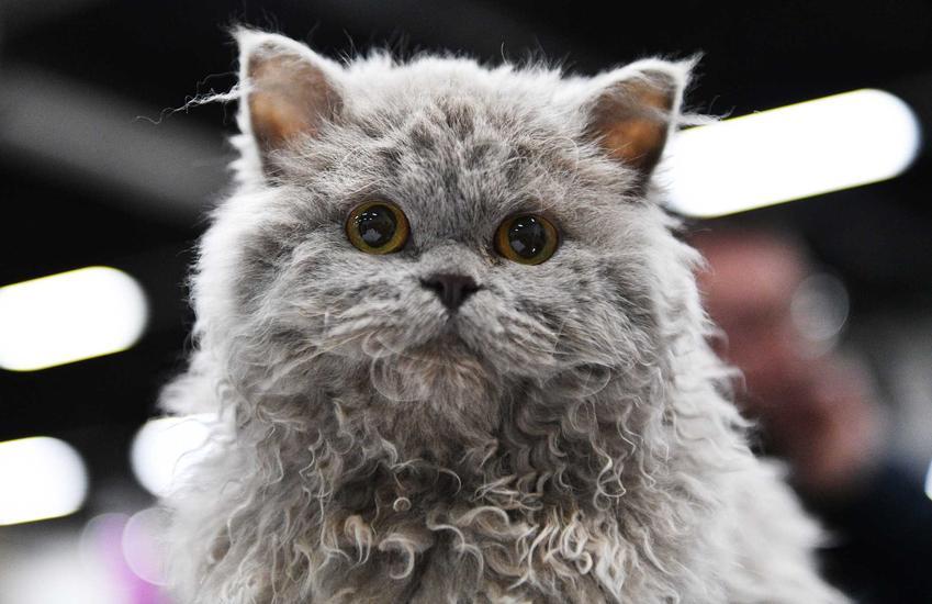 Dorosły kot selkrik rexa na wystawie, a także jego cena i koszt dorosłego kota i kocięcia