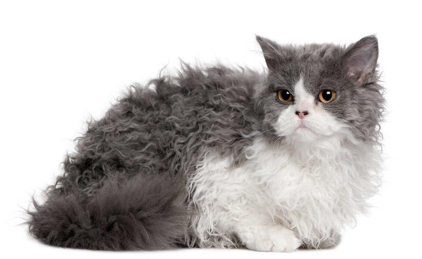 Kot selkrix rex o szarym i białym foturze na tle ściany, a także jego wymagania oraz sposoby pielęgnacji futerka
