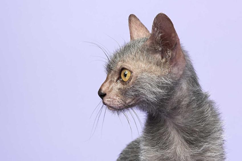 Kot lykoi na niebieskim tle o łagodnym usposobieniu oraz opis pielęnacji