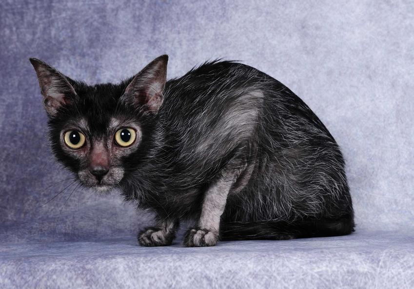 Kot lykoi o czarnej sierści siedzący na blacie, a także jego charakterystyka i opis
