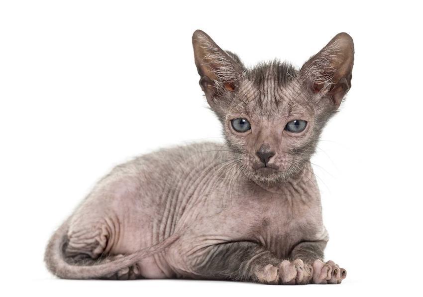 Kot wilkołak lykoi leżący na ziemi o jasnej sierści, a także rasa, pochodzenie i charakter
