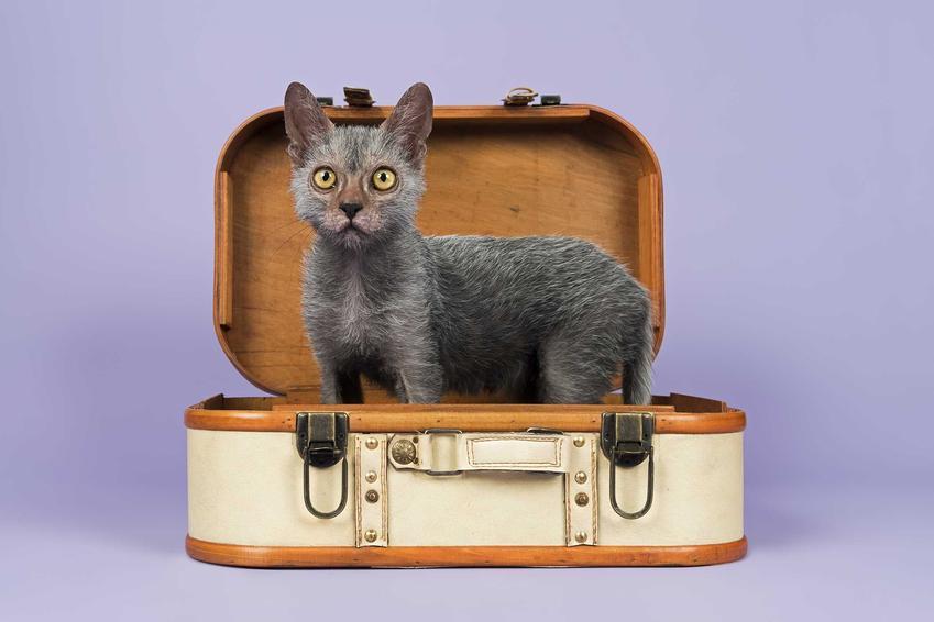 Mały kot wilkołak lykoi a także pielęgnacja, pochodzenie i opis rasy lykoi