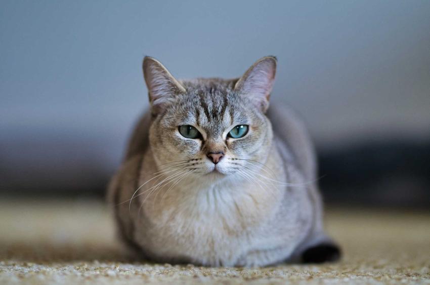 Kot Burmilla o jasnej sierści leżący na ziemi, a także informacje dotyczące żywienia kota