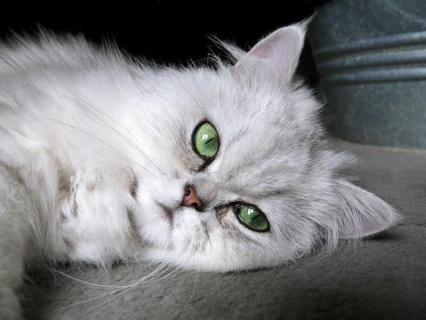 Zdjęcia kota pers szynszylowy Chinchilla Persian z bliska a także pielęgnacja, charakter i wygląd