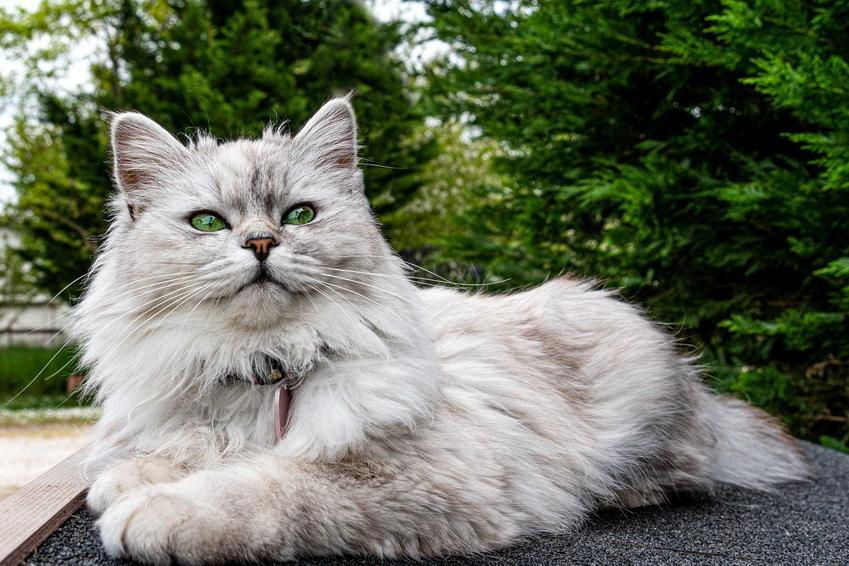 Kot pers szynszylowy o długiej sierści leżący na ziemi o szarym umaszczeniu oraz informacje o pielęgnacji i charakter