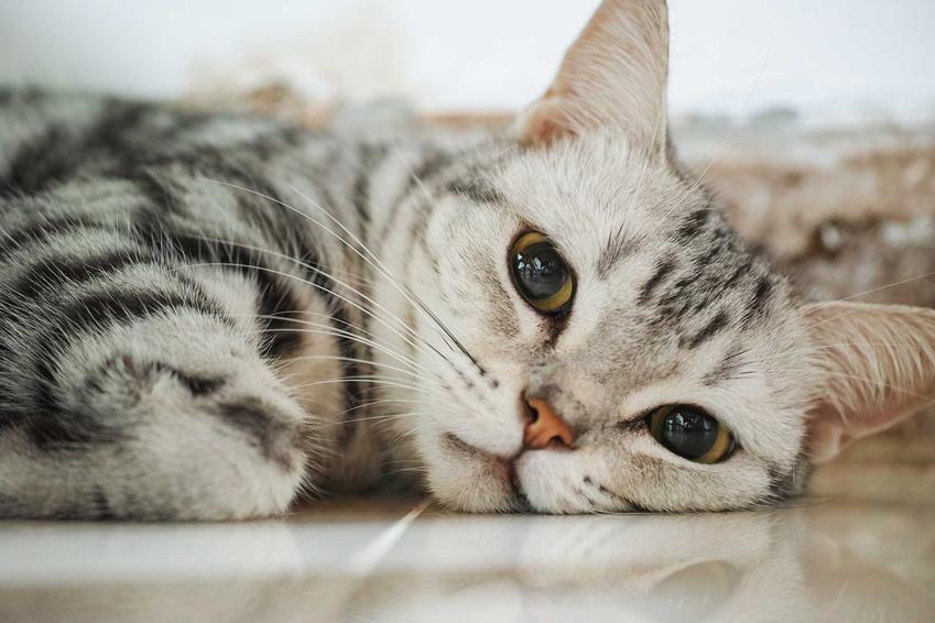 Kot amerykański krótkowłosy leżący a także opis, usposobienie, sposób pielęgnacji i żywienie