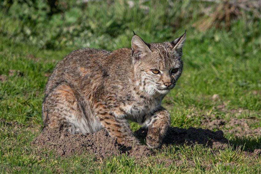 Kot ryś amerykański polujący na trawie o charakterystycznych uszach oraz informacje o wyglądzie i usposobieniu.
