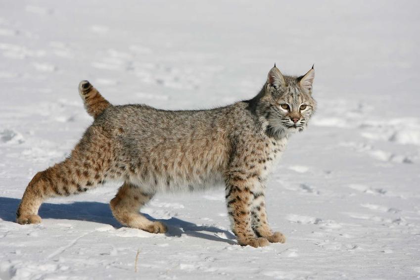 Kot ryś amerykański na śniegu oraz wygląd, pielęgnacja i charakterystyka