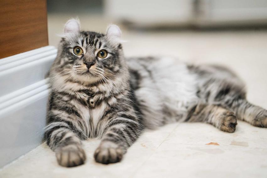 Kot american curl o pręgowanej sierści leżący przy ścianie a także pielęgnacja i wygląd