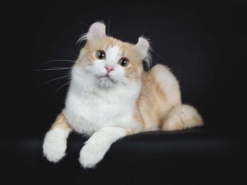 Kot amerykański curl o jasnej sierści i wywinętych uszach leżący na poduszce oraz informacje: wygląd, charakter, pielęgnacja i wygląd