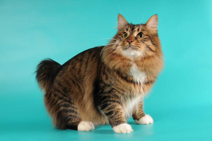 Kot amerykański bobtail o krótkim ogonie i burej sierści oraz informacje o charakterystyce i usposobieniu