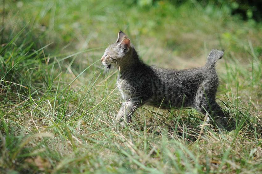 Kocie Pixie Bob o burej sierści i krótkim ogonie oraz cena za kocięta do hodowli i do domu
