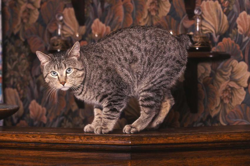 Kot rasy Pixie Bob o krótkim ogonie i burej sierści, a także informacje o cenie i pielegnacji
